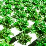 champs de salade hydroponique