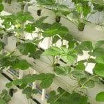 fraise en hydroponie