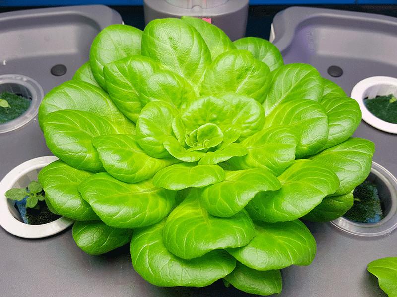 salade hydroponique