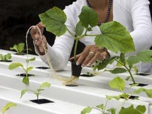 culture de pastèques en hydroponie